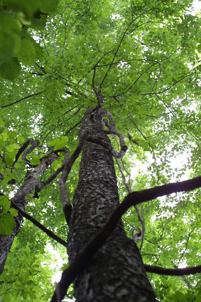 Prunus Serotina Rosaceae Whole Tree Or Vine View Up Trunk Black Cherry Tree Deciduous Trees Tree