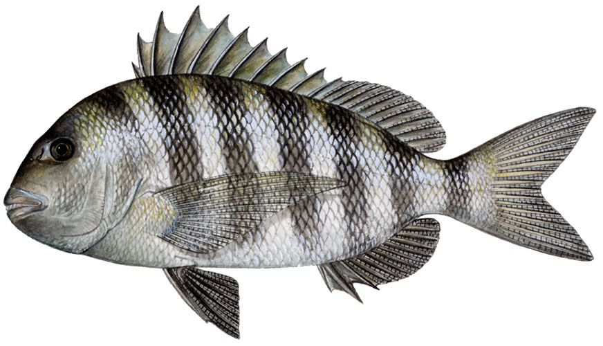 Sheepshead these fish have teeth that look like humans.