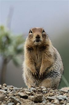 How To Get Rid Of Gophers Getting Rid Of Gophers Prairie Dog