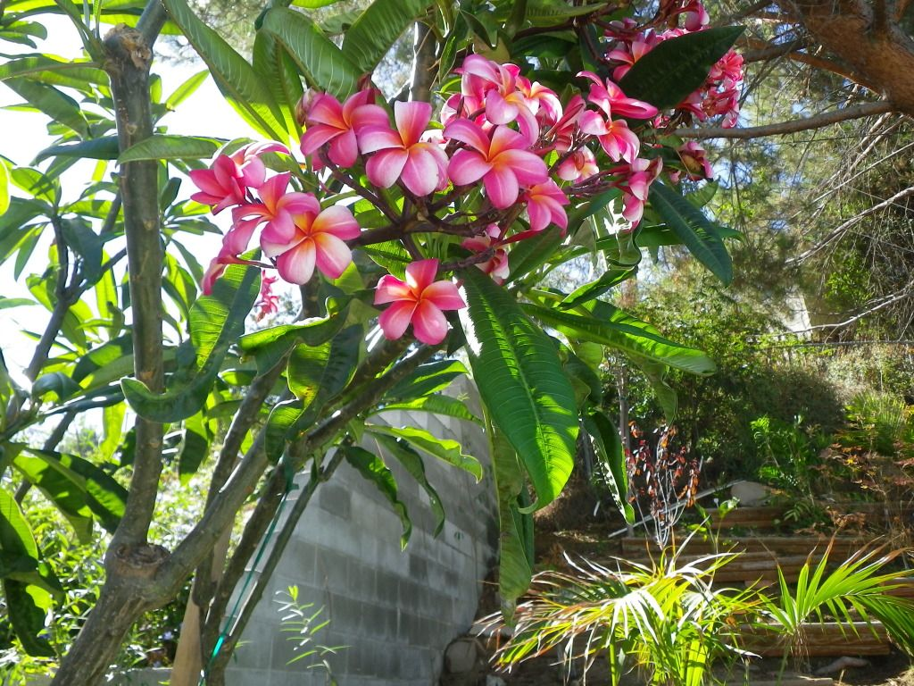Potted plumeria tree pinterest plumeria for Flowering landscape plants