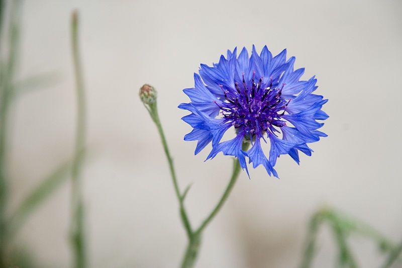 File Cornflower Blue Jpg Wikipedia The Free Encyclopedia Blue Flowers Bachelor Button Flowers Edible Flowers