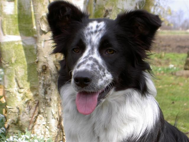 White Ticked Border Collie Border Collie Real Dog Collie