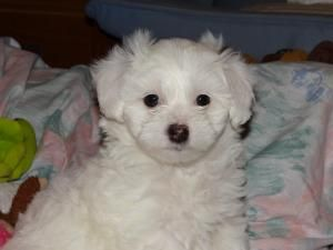 Adopt Seamus Adopted On Pets Are Cuter Than Kids Maltese
