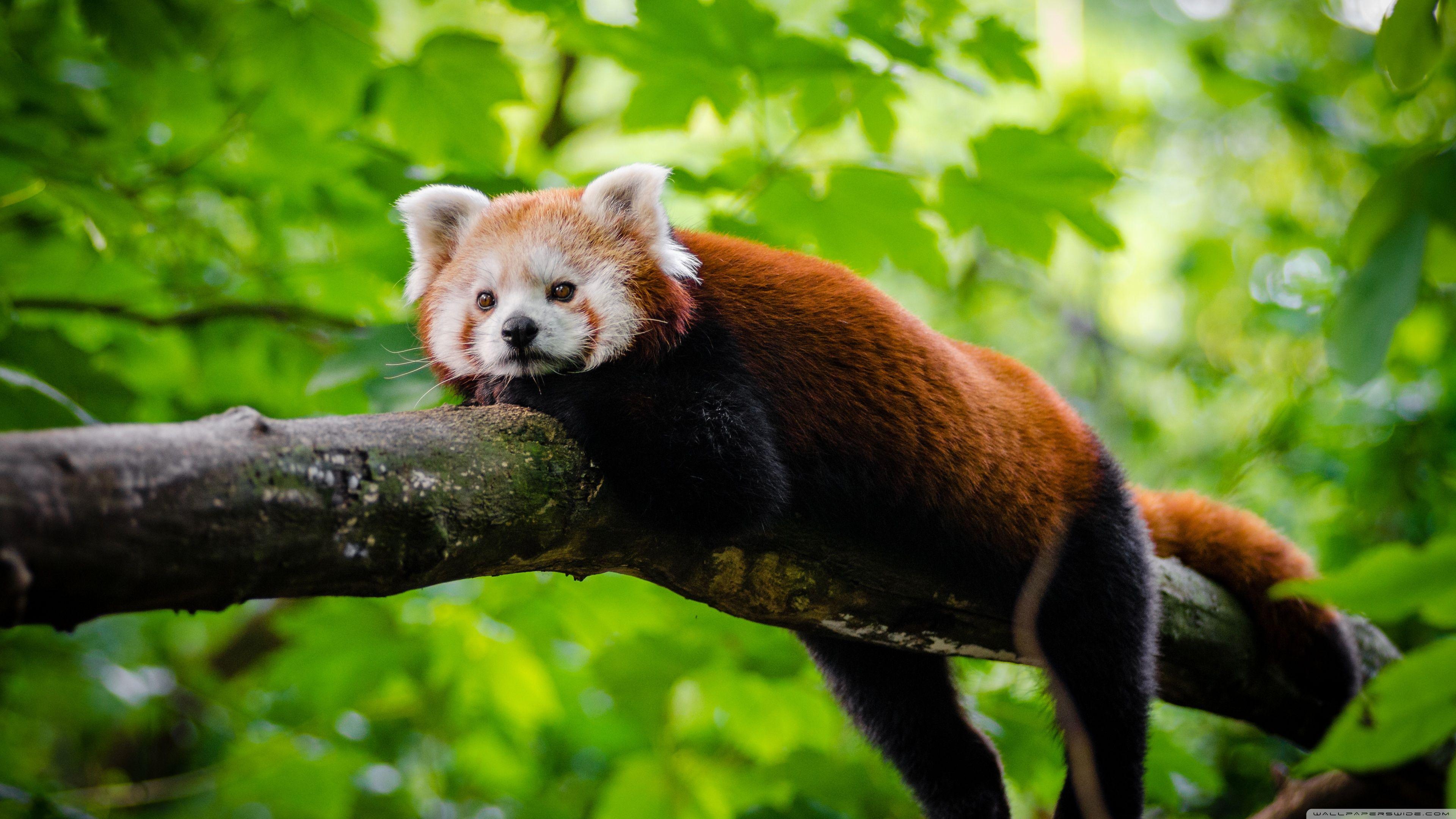 Cute Red Panda Hd Desktop Wallpaper Widescreen High