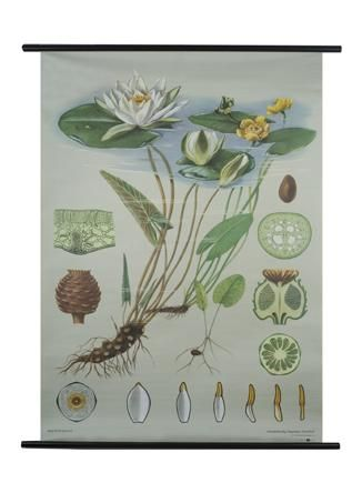 Water lily Botanical Poster.  Lots of options at The Evolution Store.