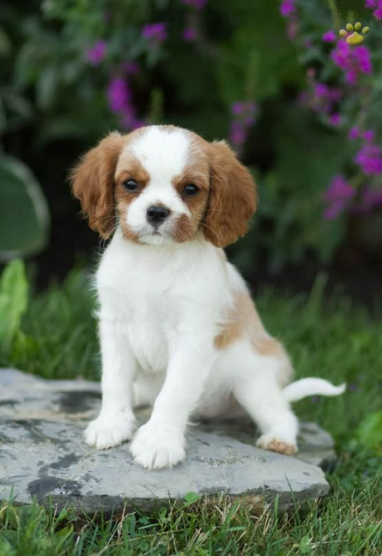 Blitz Cavalier King Charles Spaniel Puppy For Sale In Watsontown Pa King Charles Cavalier Spaniel Puppy Spaniel Puppies For Sale Spaniel Puppies