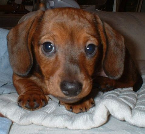 funny dachshund pictures | Cute Brown miniature dachshund puppy pictures.JPG