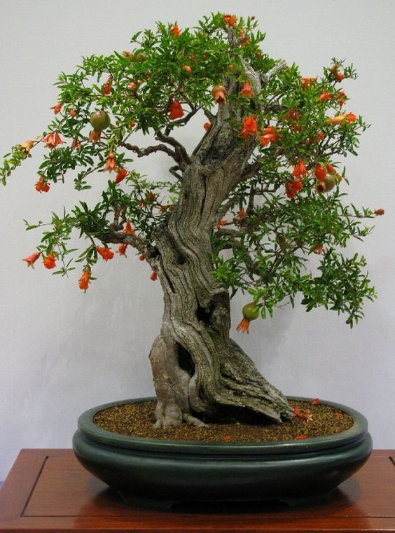 Los Mejores Arboles Para Bonsais Jardineria Bonsai