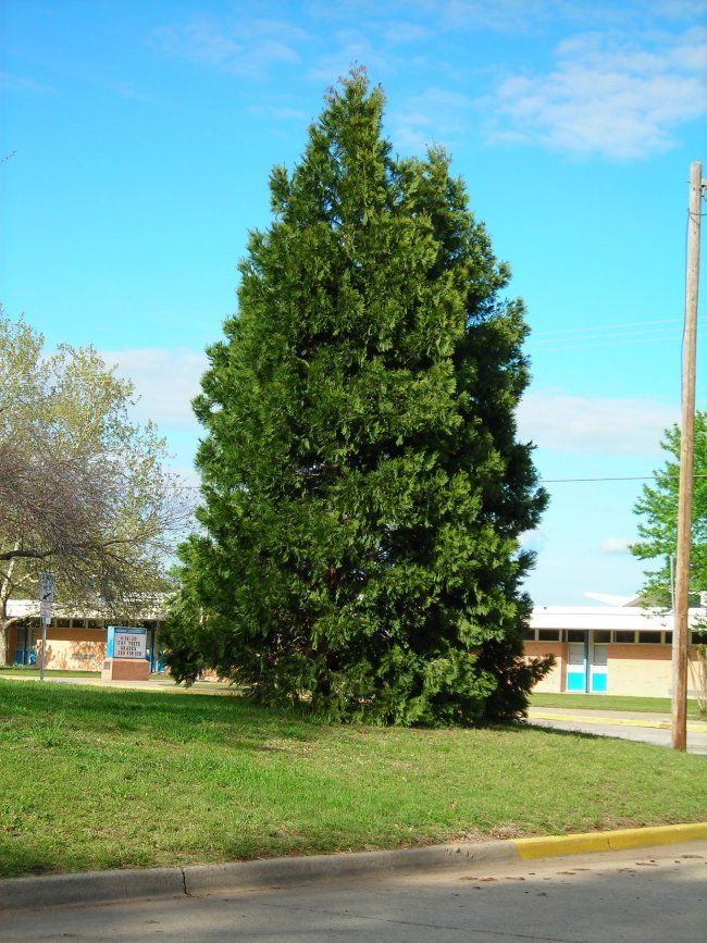 Incense Cedar Tree Cedar Trees Secret Garden Plants