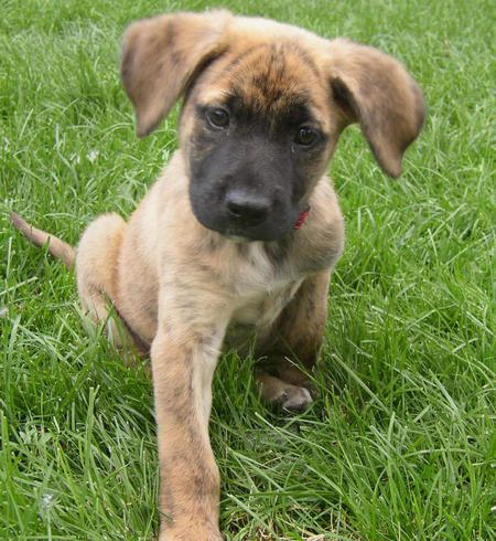 German Shepard Boxer Mix Puppy If He Had Some White On His Nose