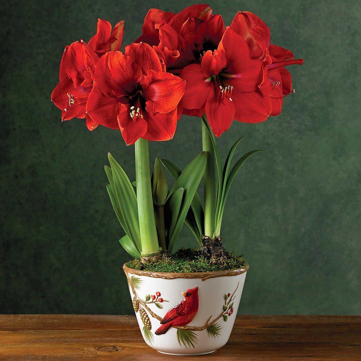 Red Lion Amaryllis Double In 2020 Amaryllis Flowers Amaryllis Plant Plant Gifts