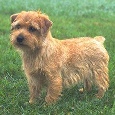 The 25 Smallest Dog Breeds Norfolk terrier, Terrier dog