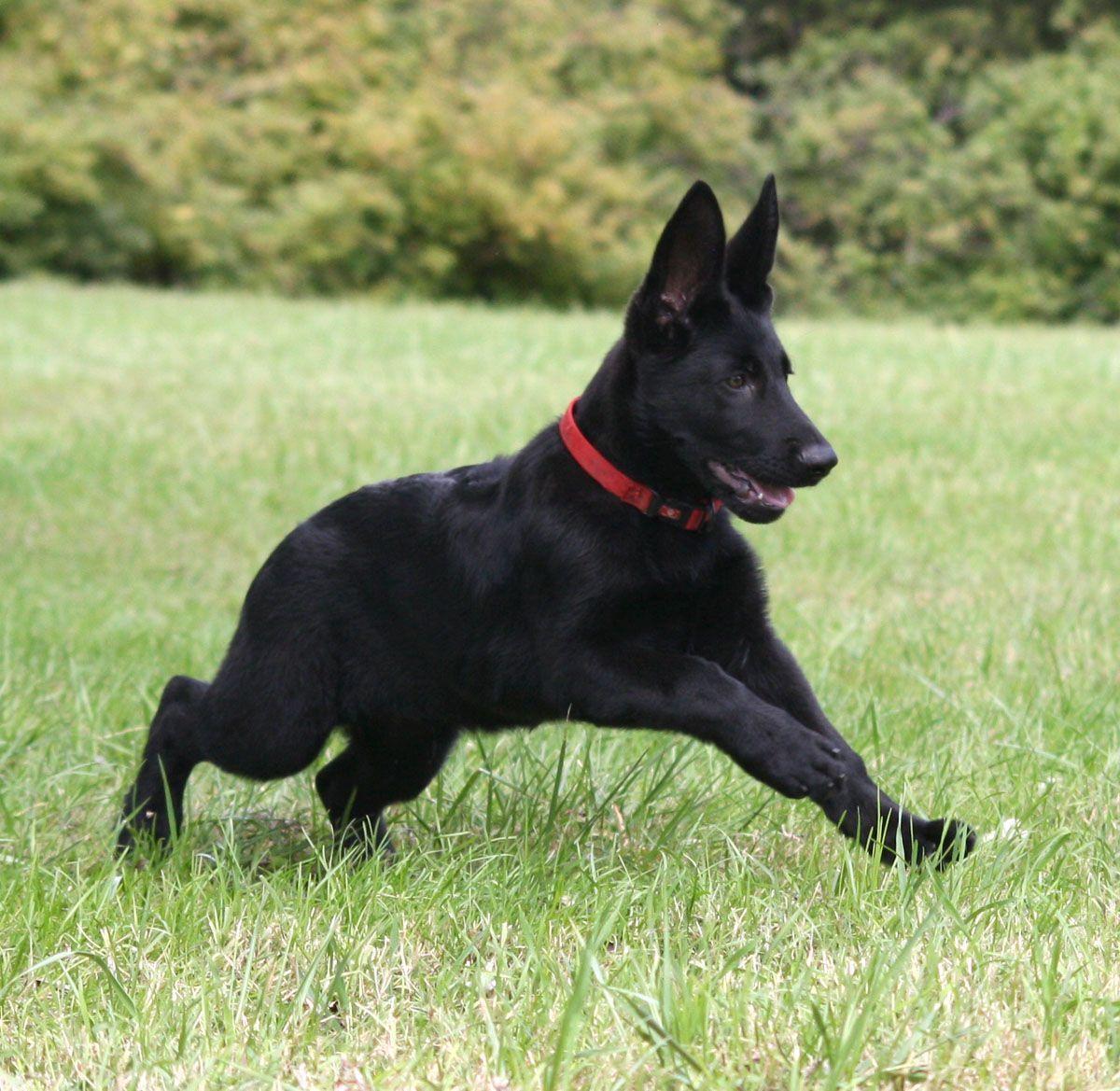 Find Black German Shepherd Puppies For Sale Near Me In Japan