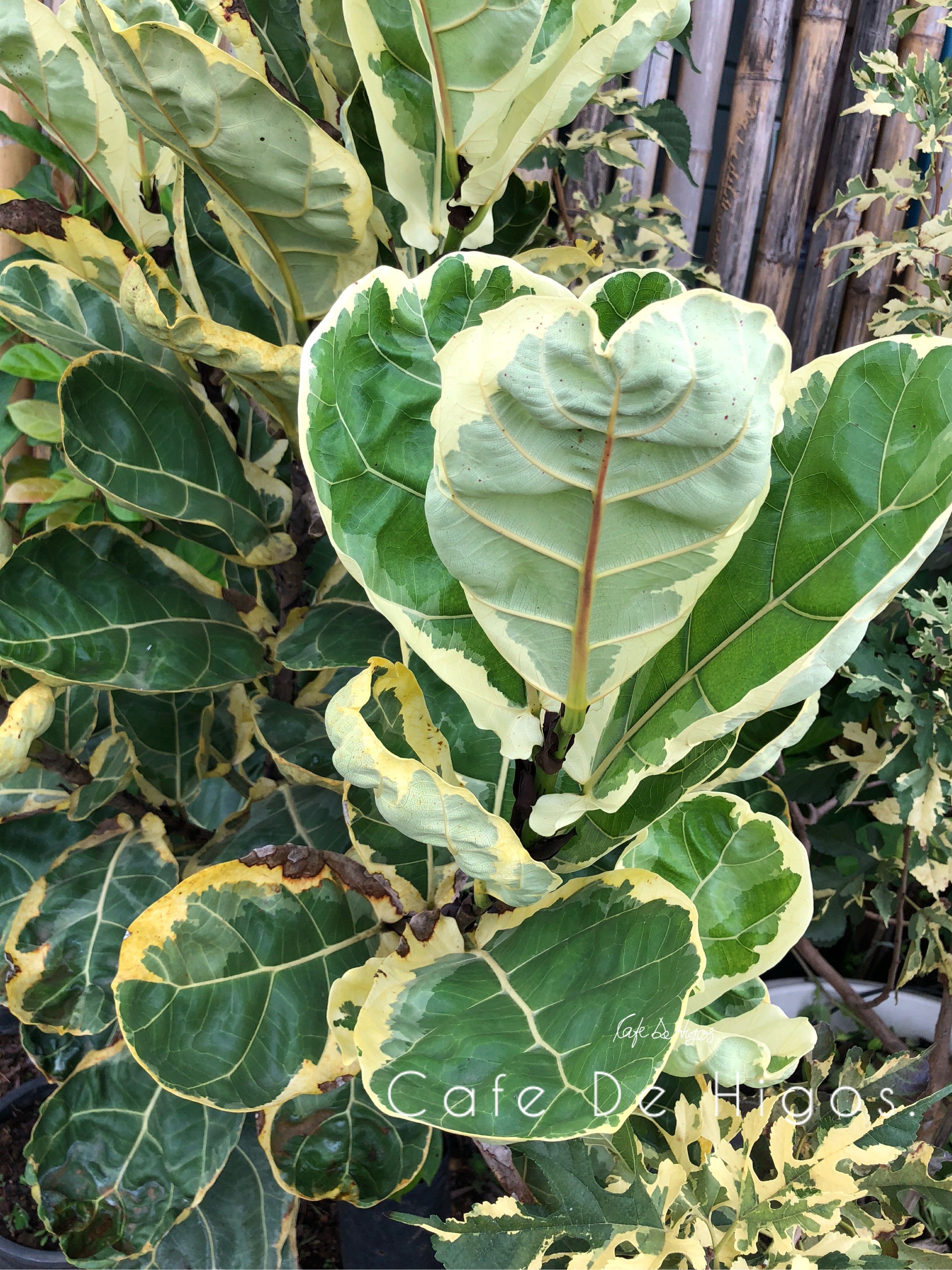 Pin By Cafe De Higos On Variegated Plants Plants Variegated