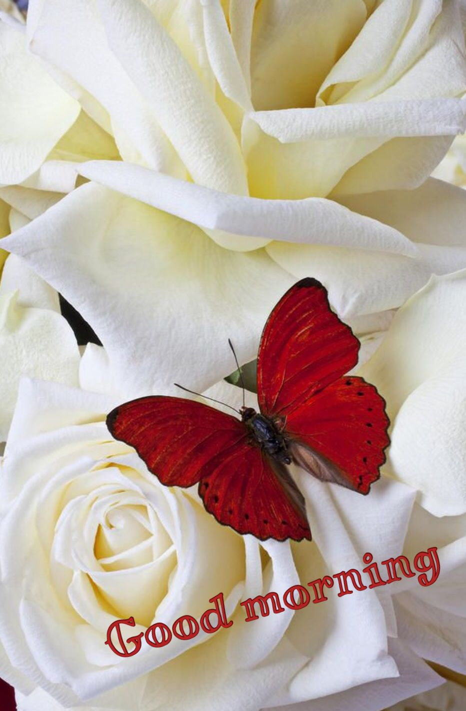 Good Morning Good Morning Pinterest Red Butterfly Butterfly