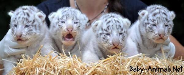Little tiger# #babytiger  #cutetiger  #littletiger  #sweettiger  #tiger  #tigerphoto #babytigerimages  #babyanimals  #cuteanimals  #littleanimals  #sweetanimals