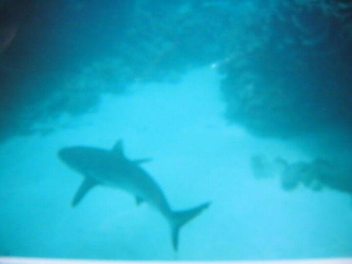 Australia, reef shark