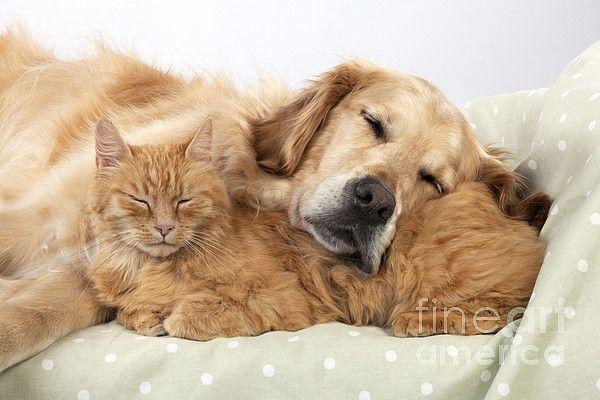 Golden Retriever And Orange Cat By John Daniels Orange Kittens
