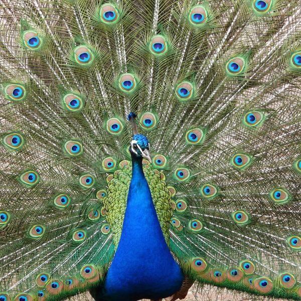 Por qu extiende la cola el pavo real pavo real and animal - Fotos de un pavo real ...