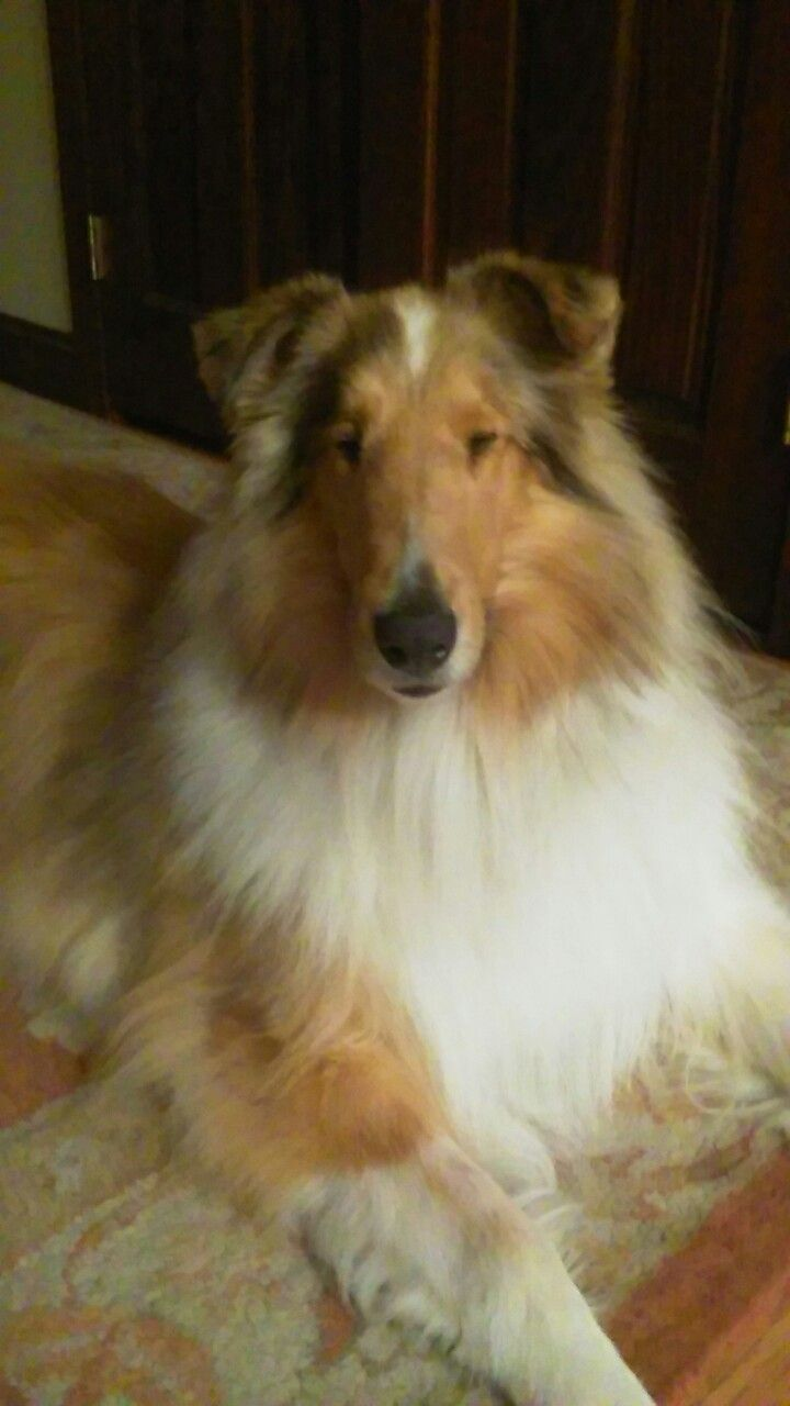 Pin By Bill Godwin On Dogs Rough Collie