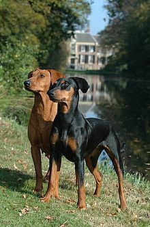 A Well Bred German Pinscher Will Be A Loving Companion With An