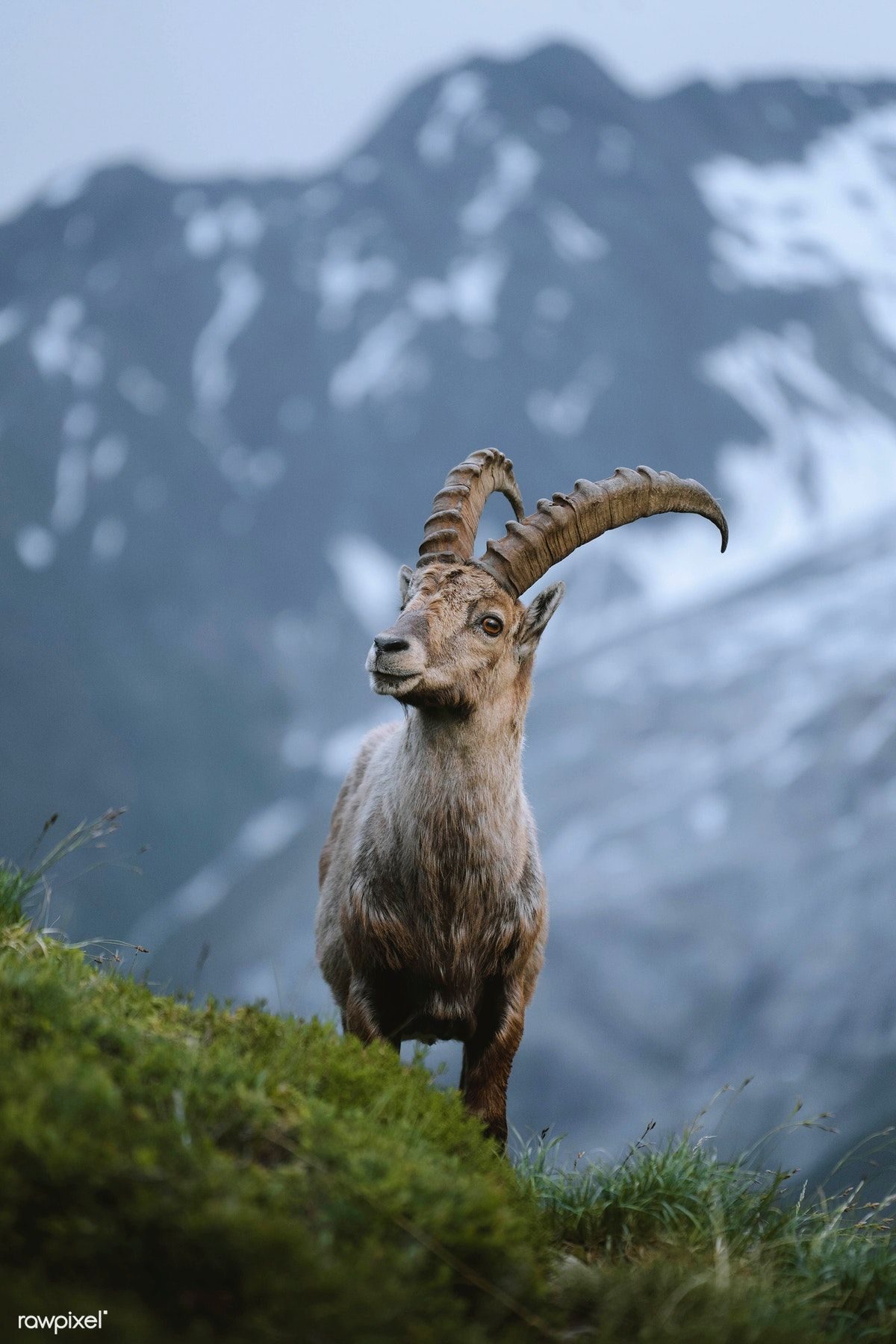 Alpine ibex in Chamonix Alps in France   free image by rawpixel.com  #picture #photography #inspiration #photo #art #animal   Alpine ibex, Ibex,  Alps