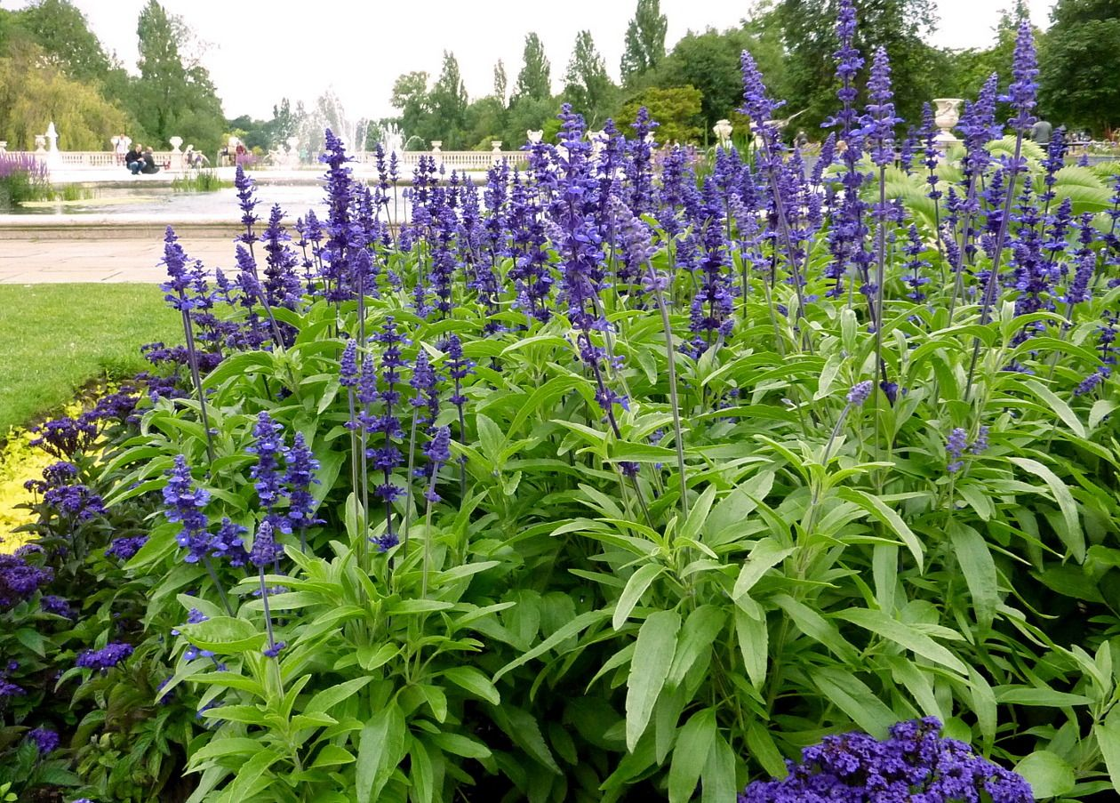Mealycup Sage Or Mealy Sage Salvia Farinacea Is A Herbaceous