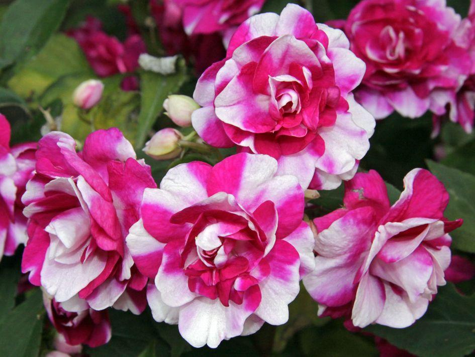 Impatiens Walleriana Love Double Impatiens Gardens