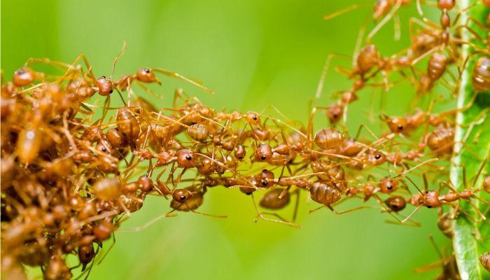 Repelente natural afasta formigas ao invés de exterminá-las. Foto: Shutterstock/ Reprodução