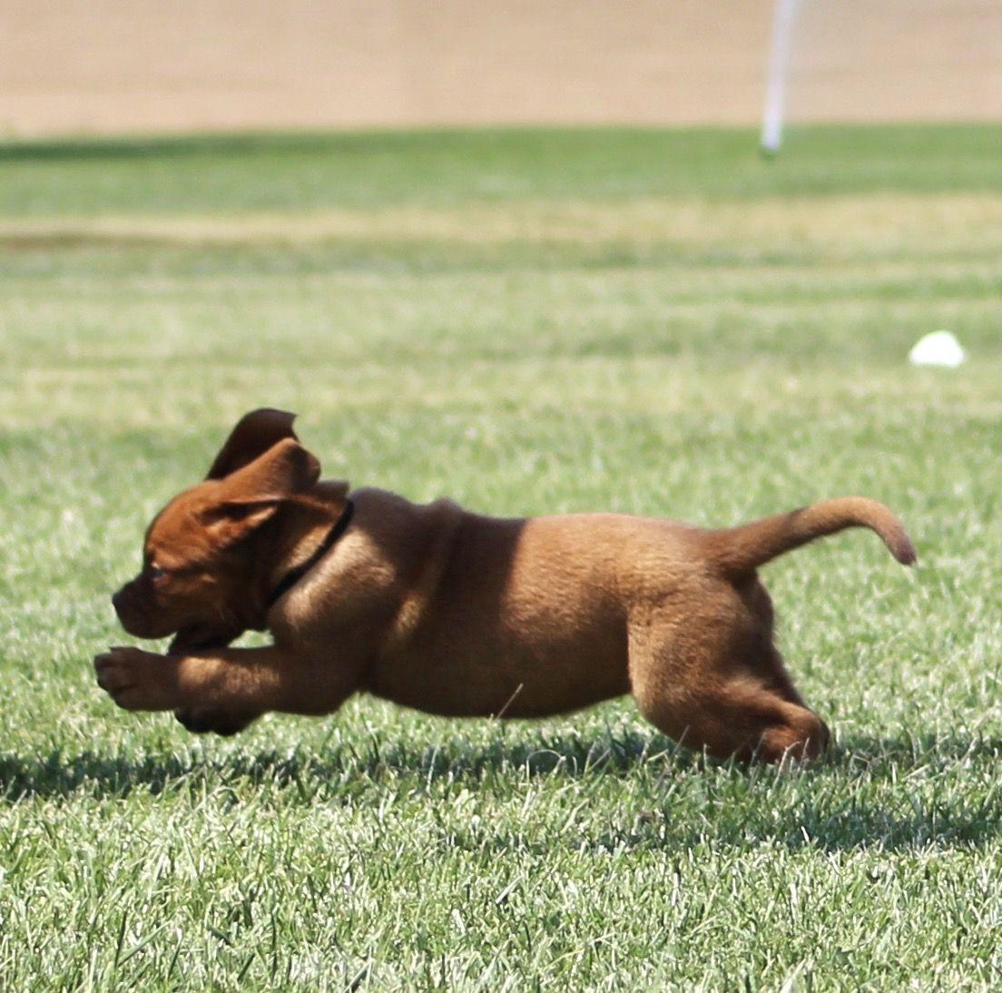 French Mastiff Puppy Dogue de Bordeaux by SAKennel