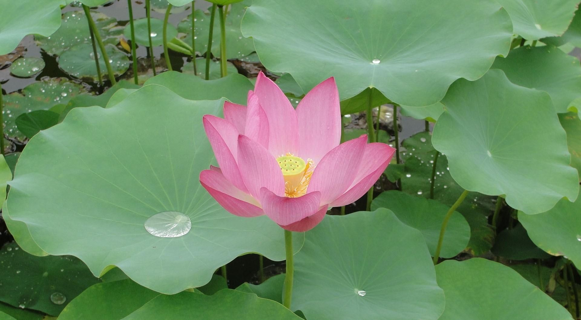 Image result for calyx template images flowers pinterest lotus flowers izmirmasajfo Images
