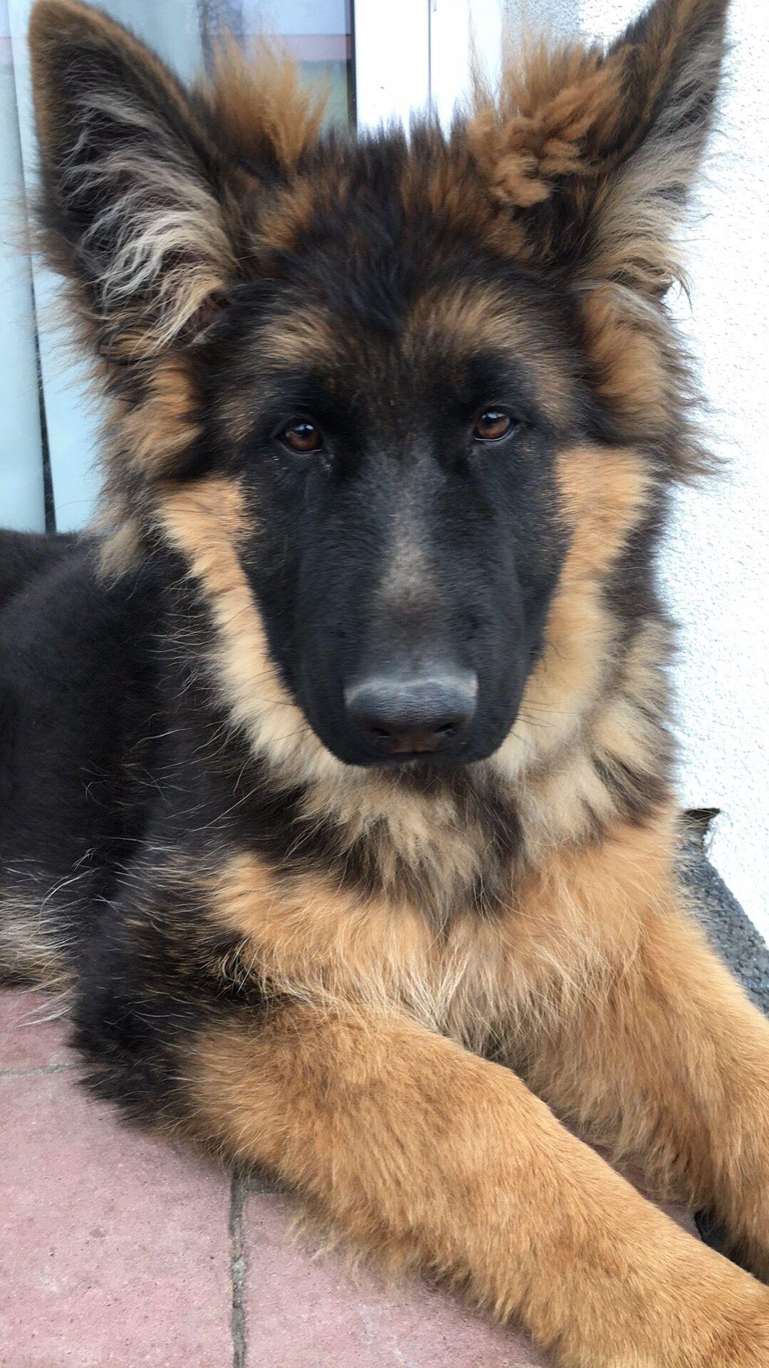 Bruno German Shepherd German Shepard Puppies Shepherd Puppies Shepherd Dog