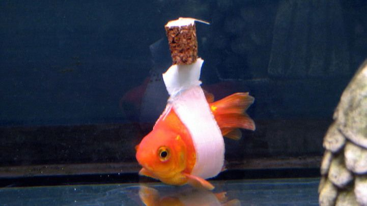 Gettin By With A Little Help From A Friend Goldfish Cute