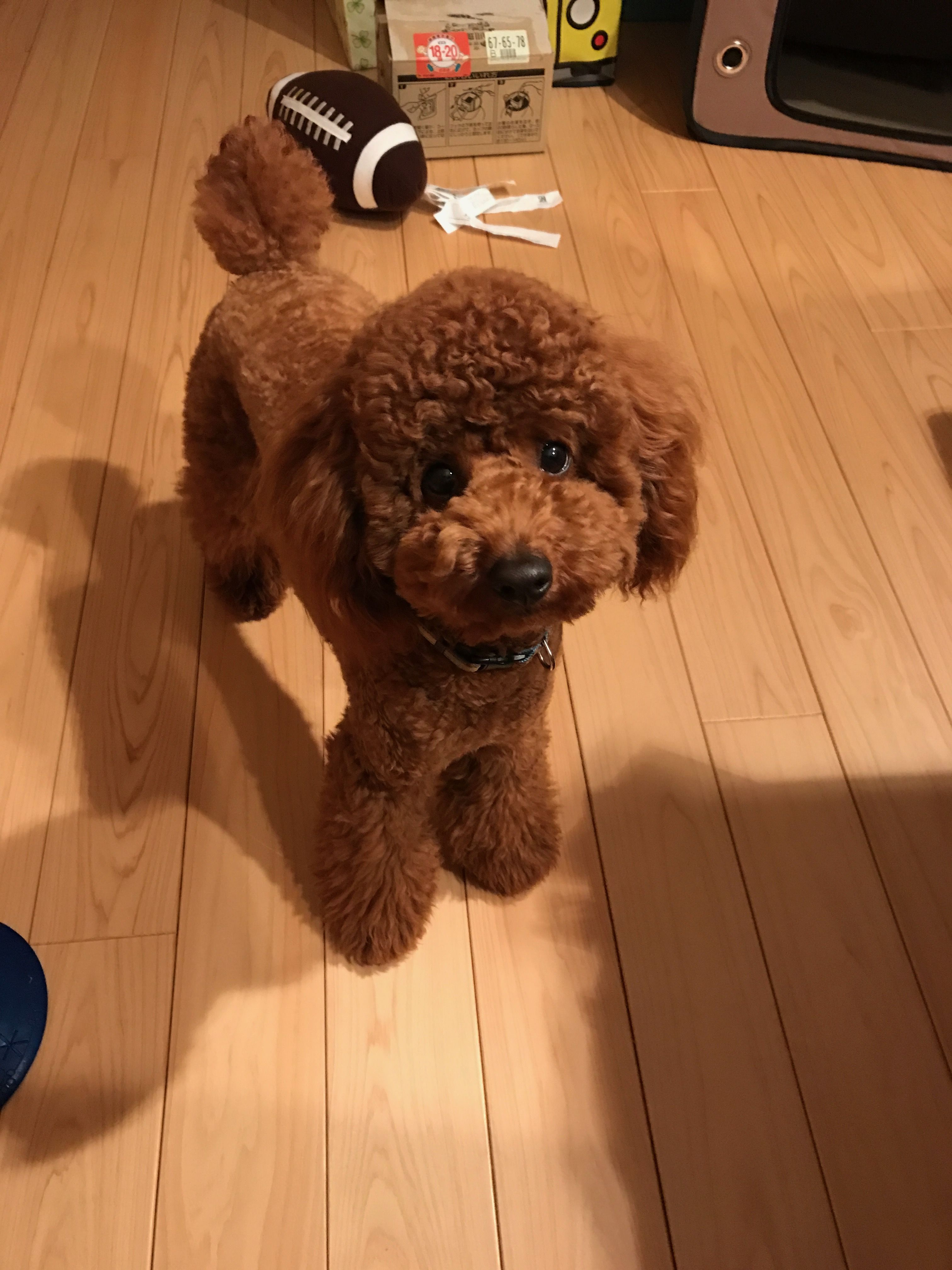 Poodle by Linda Henderson McDonald Toy poodle haircut
