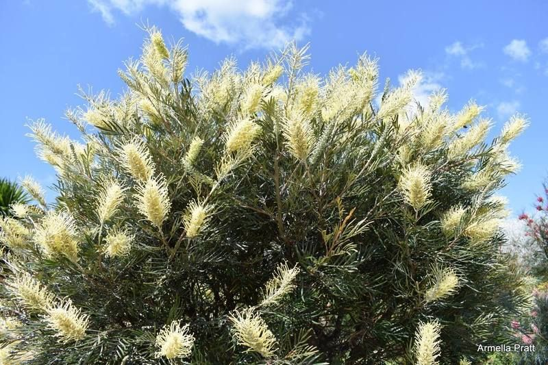 Image result for grevillea moonlight Growing shrubs