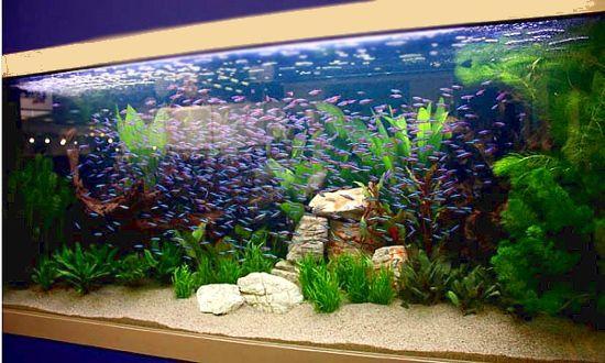 Guppy aquarium aquarium guppy freshwater aquarium for Types of fish tanks