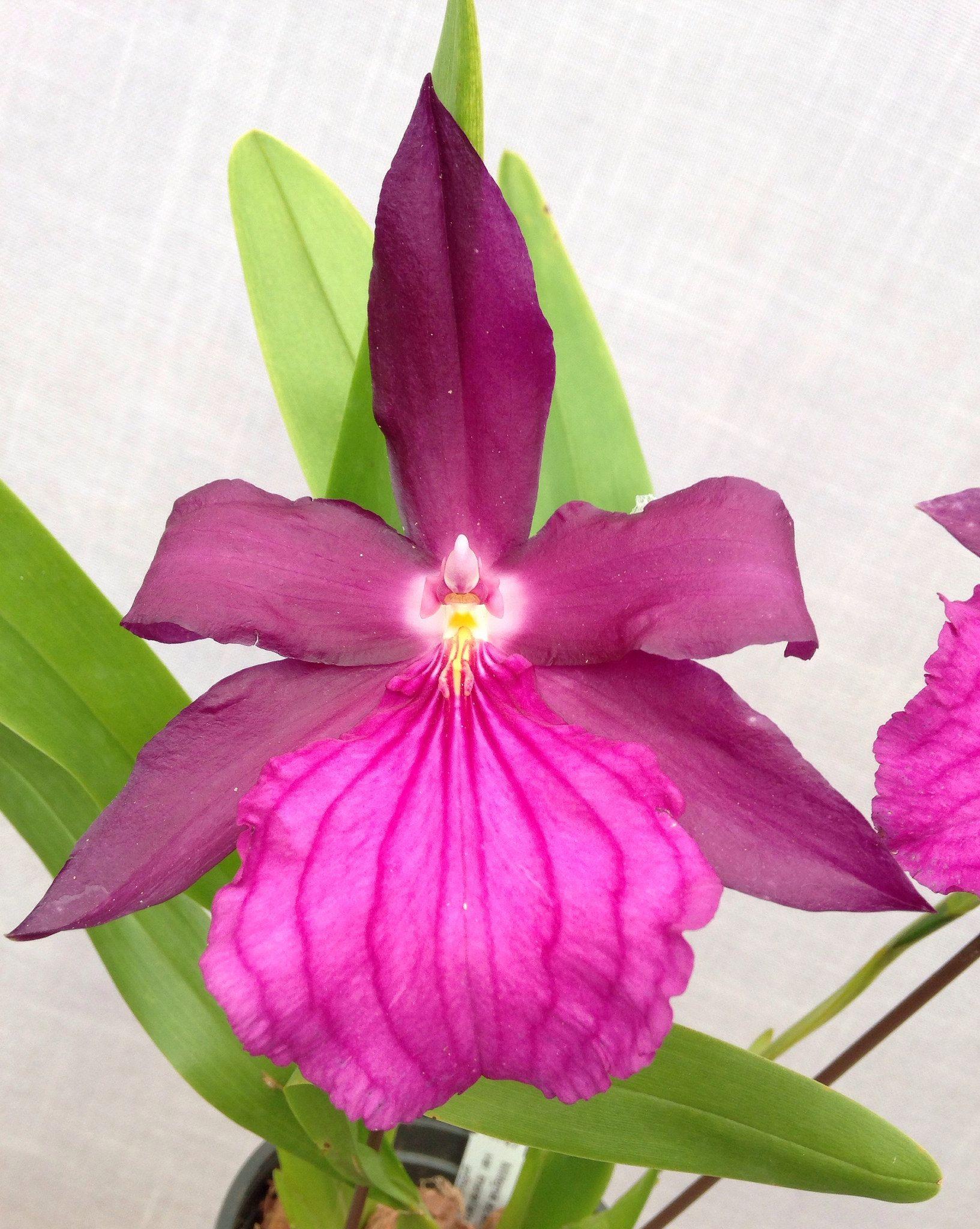 Miltonia spectabilis var moreliana ch miltonia purple