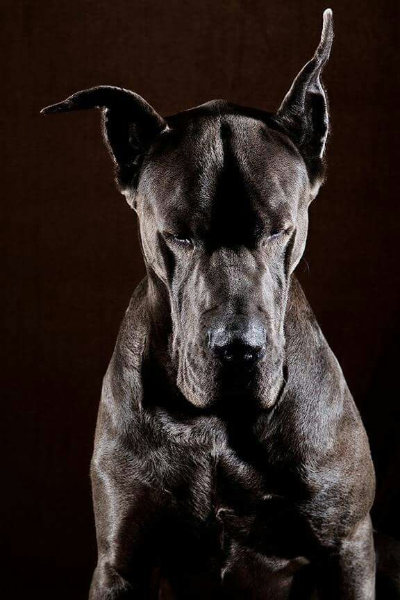 Pin By David Delgado On Mostly Danes Dane Dog Dogs Beautiful Dogs
