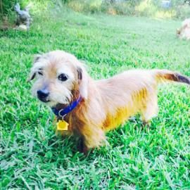 Meet Buddy Holly A Dachshund Miniature Wire Haired Available For