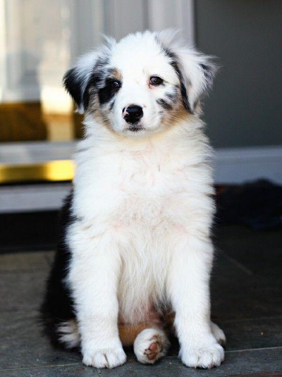 aussie dogs pinterest hunde sch ne bilder und spr che und hunderassen. Black Bedroom Furniture Sets. Home Design Ideas