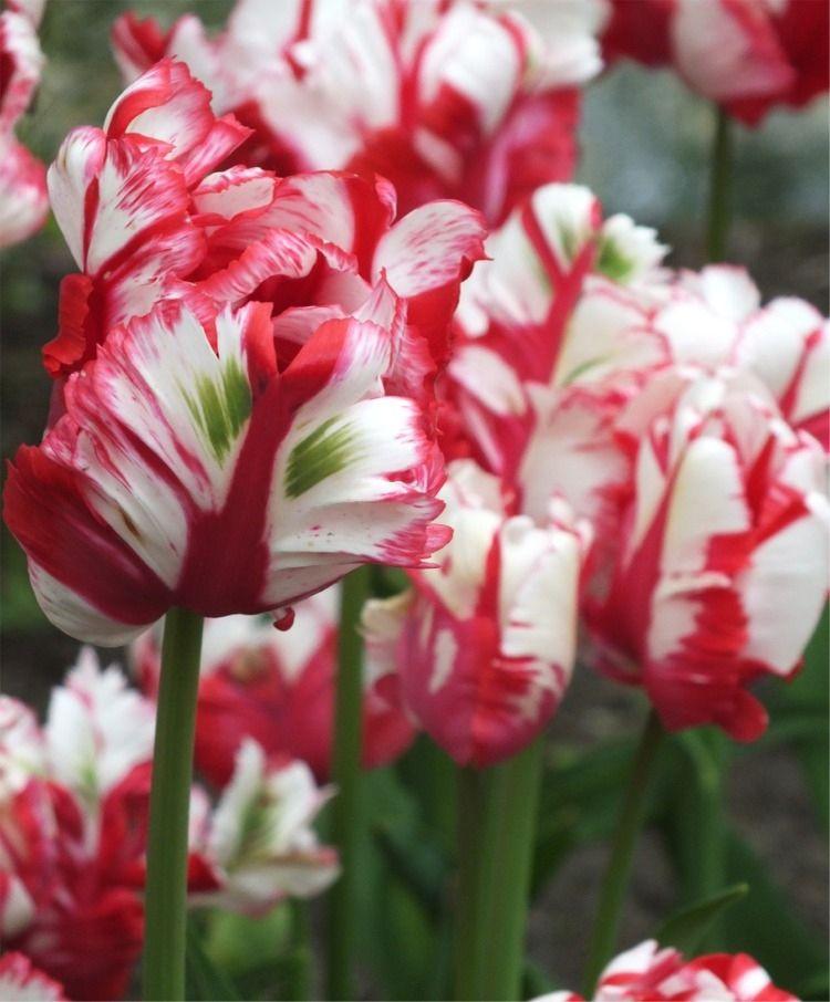 Tulip Estella Rijnveld Parrot Tulips Tulips Flower Bulb Index Bulb Flowers Flowers Tulips Flowers