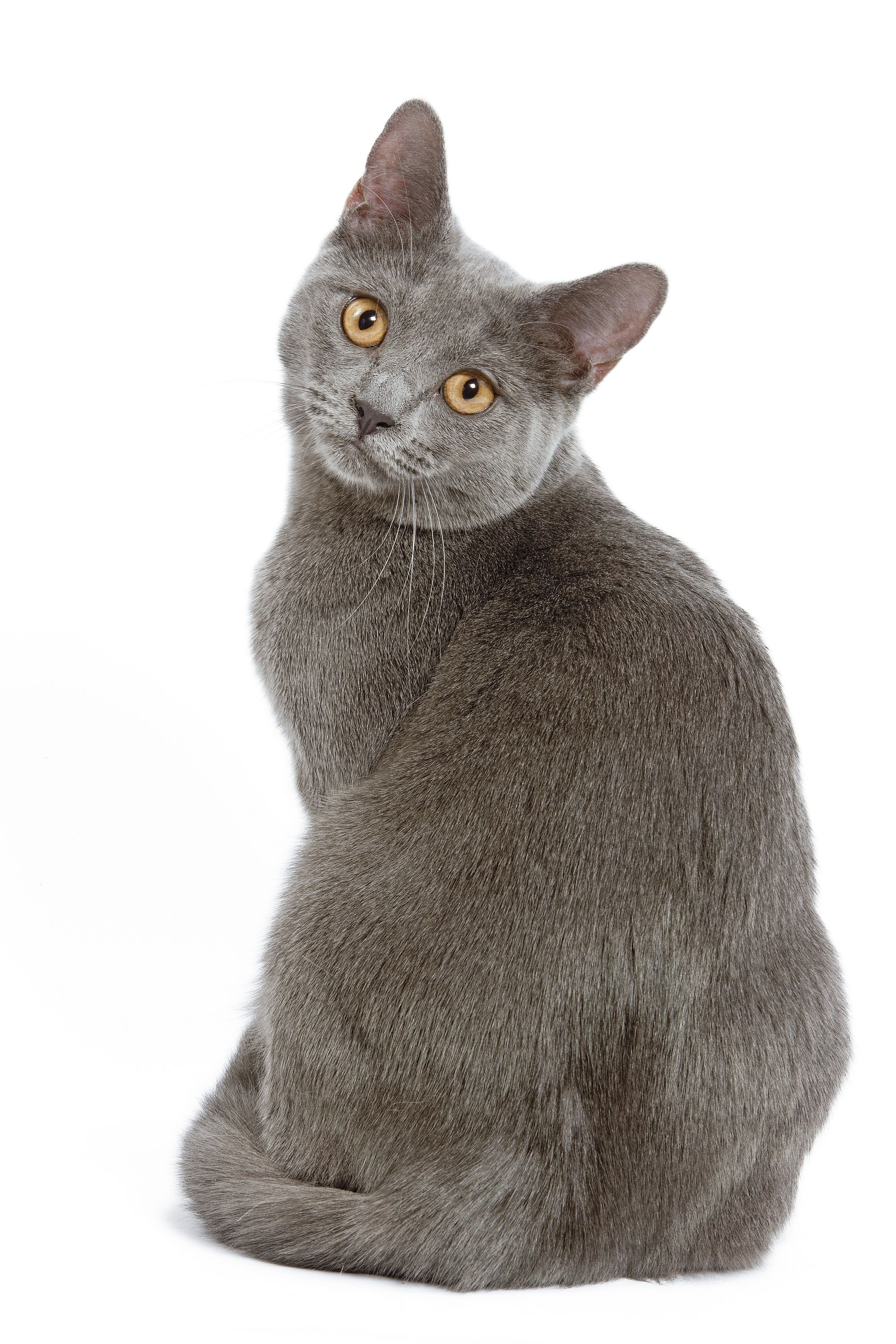 Image result for chartreux cats