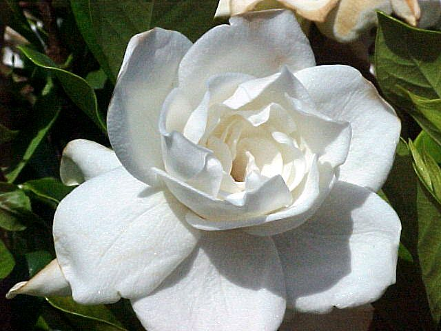 My Flowers Gardenia For My Grandfather Because He Always Picked Me Gardenias Symbolism Gardenia Flower Flower Essences Flower Scent Fragrant Plant