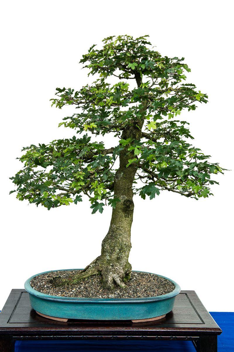 Feld Ahorn Als Bonsai Baum Bonsai Bonsai Baum Bonsai Pflanzen
