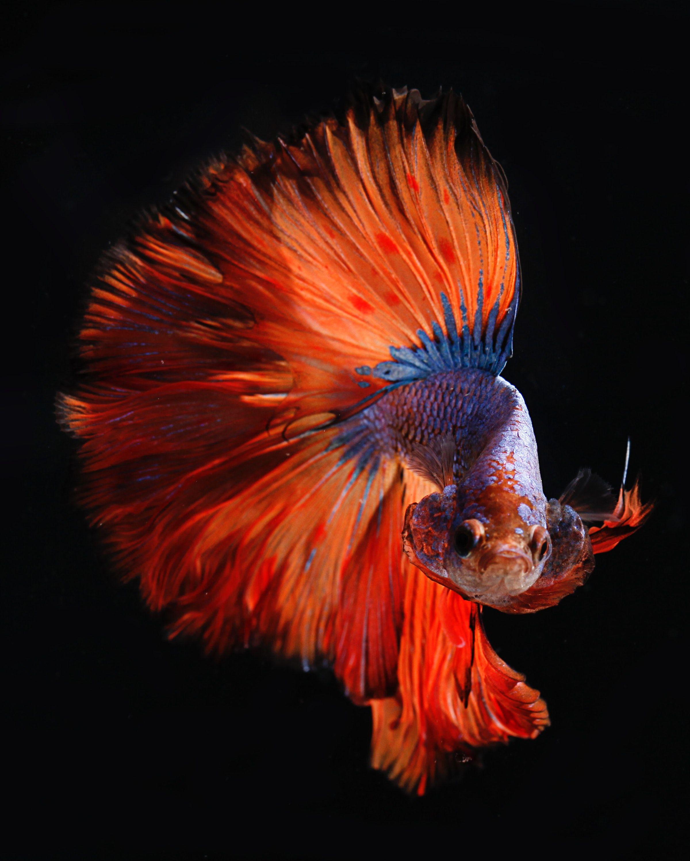 Animals fish, orange, tail, underwater, black background