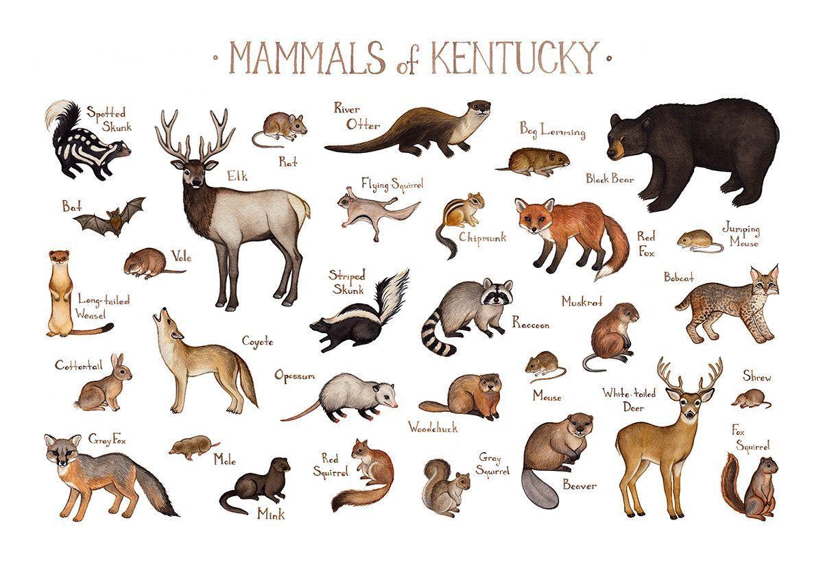 Kentucky Mammals Field Guide Art Print Mammals Fox Squirrel