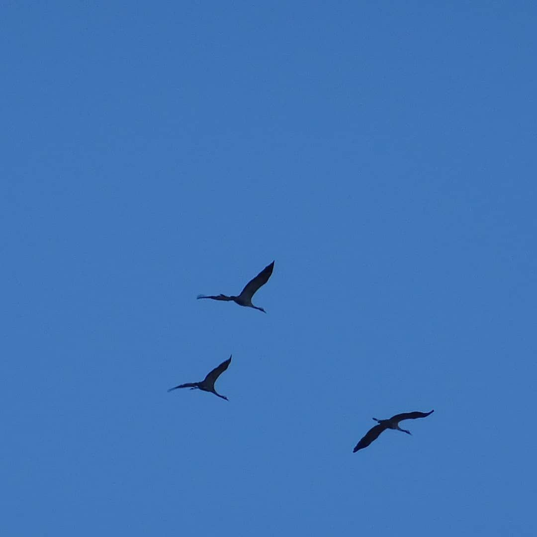 Common craneGrus grus or eurasian crane flying in the distance
