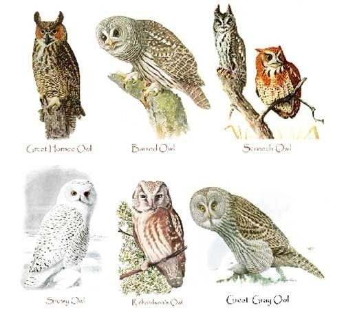 Types of owls
