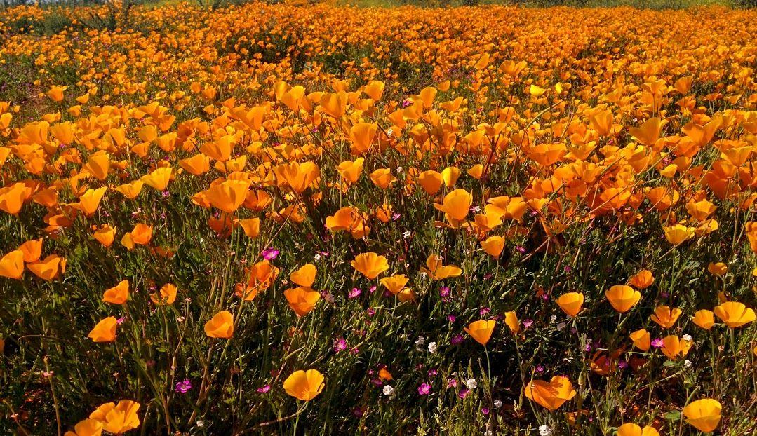 Fields Of Gold Southern California Poppies Temecula Ca