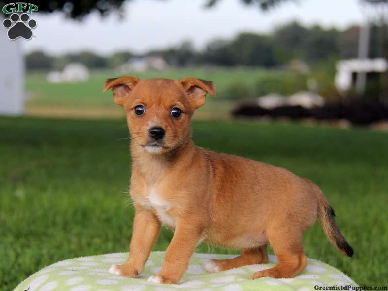 Sandy Yorkie Russell Puppy For Sale In Paradise Pa Puppies For